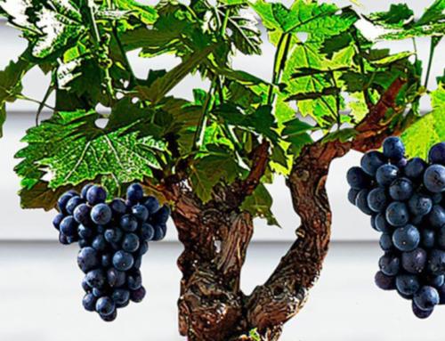La potatura per la vigna porta frutto